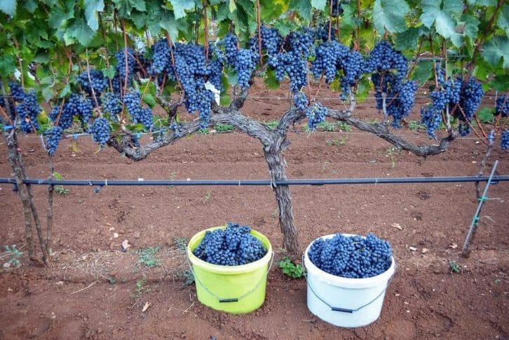 11Winery grapes, Mrkan winery