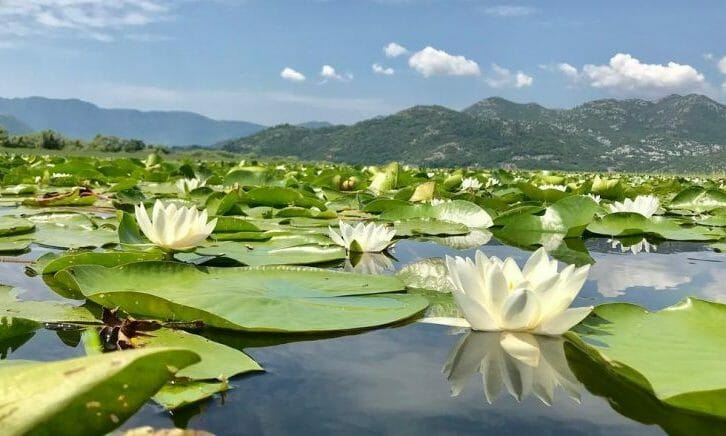 11waterlilies on skadar lake in Montenegro