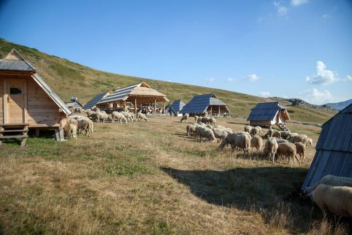 11Vranjak katun sheep graze among the huts