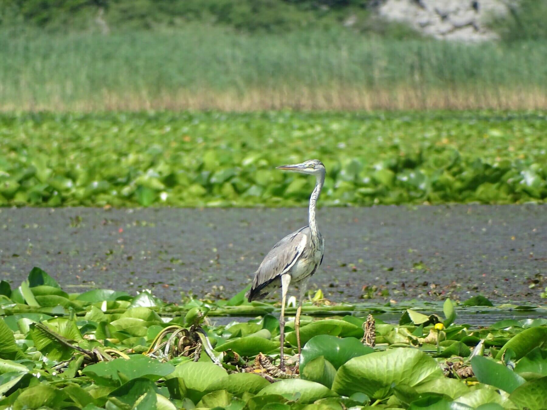 The great ehret enjoys Skadar Lake Montenegro Adventure